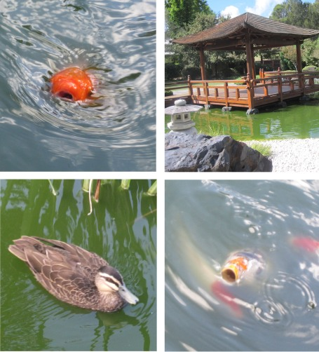 Japanese Gardens: crazy carp, cute ducks and a shady pergola