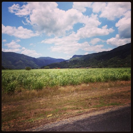 Sugar cane in Cairns